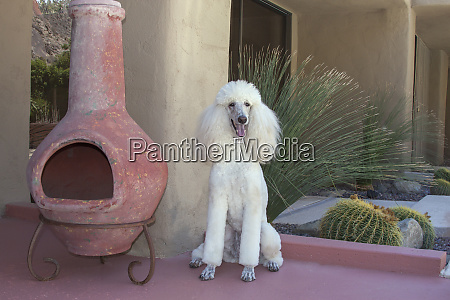 white standard poodle sitting on patio