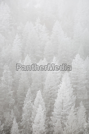 usa colorado pike national forest hoarfrost