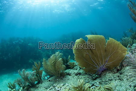 a purple sea fan sways in