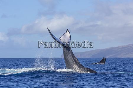 buckelwale megaptera novaeangliae in der naehe