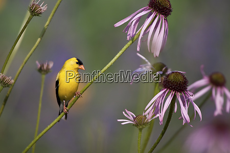 american goldfinch carduelis tristis male on