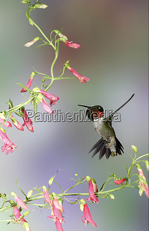 ruby throated hummingbird archilochus colubris male