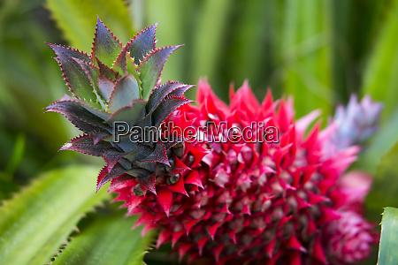 usa hawaii maui ananas bromeliad waechst