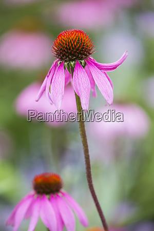 purple coneflowers echinacea purpurea marion county