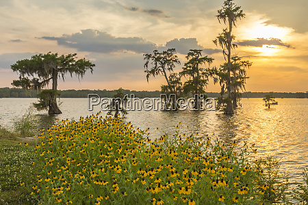 usa louisiana lake martin cypress trees