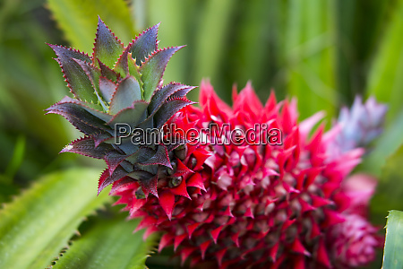 usa, hawaii, maui, ananas, bromeliad, wächst, in, der, maui - 27341344