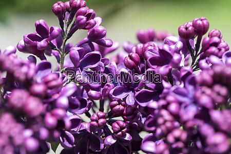 usa massachusetts boston arnold arboretum purple