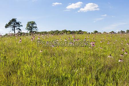 pale purple coneflowers echinacea pallida white