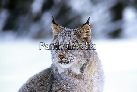 der kanadische luchs lynx canadensis ist