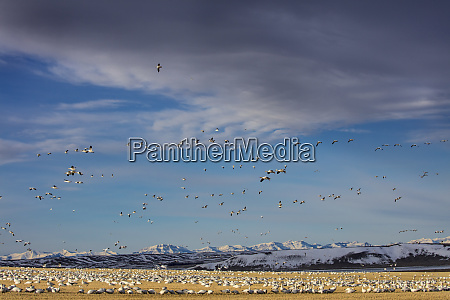 snow geese feeding in barley field