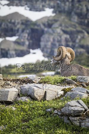 maennliche bighorn schafe glacier nationalpark montana