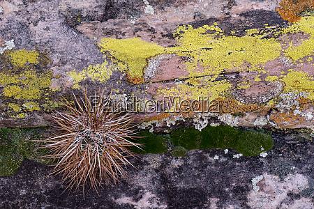 usa nevada kleiner kaktus waechst aus