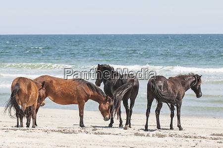 wilde mustangs oder bankpferde equus ferus