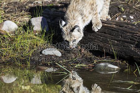 bobcat-reflexion - 27342738