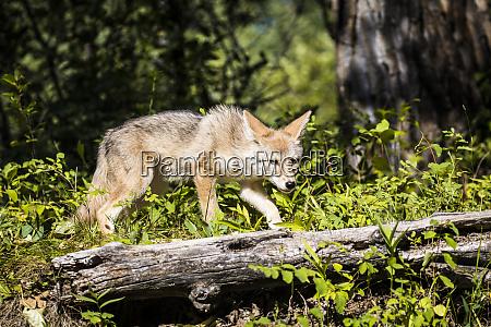 glacier nationalpark montana kojote