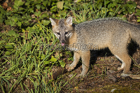 glacier nationalpark montana grey fox