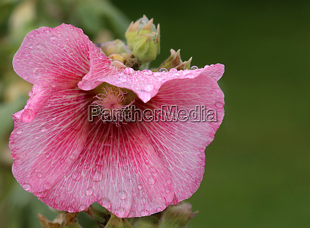 pink flowering stockrose alcea rosea in