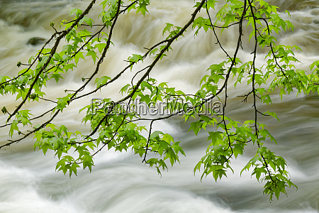 overhanging maple tree branches in spring