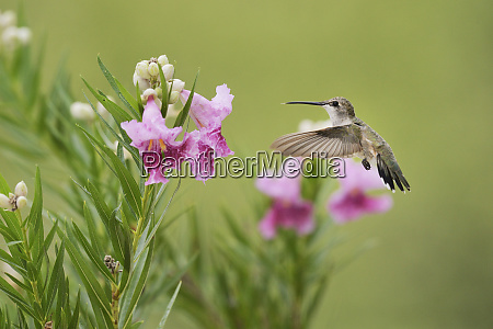 ruby throated hummingbird archilochus colubris female