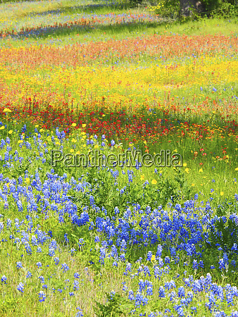 wildflowers along highway 29 between llano