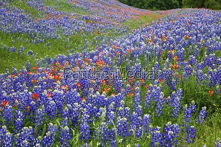 texas, hill, country, wildblumen, entlang, der, 16 - 27345320
