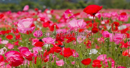 beautiful pink poppy flower field