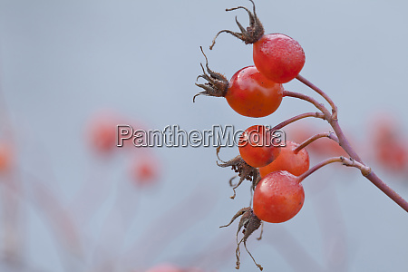 usa washington seabeck wild rose hips