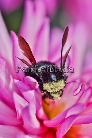 bumble bee auf dahlien blume