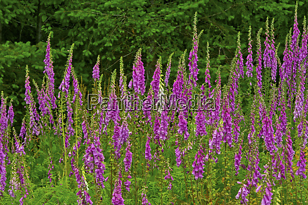 foxglove southern side of mount st