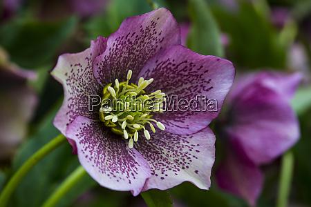 silverdale washington state purple hellebore flower