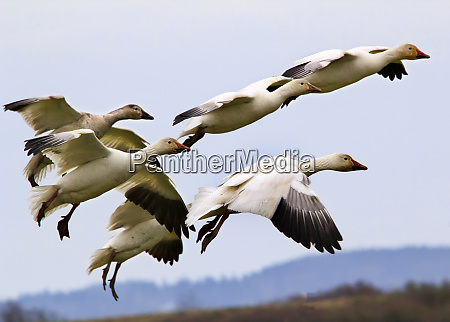 snow geese flying over countryside skagit