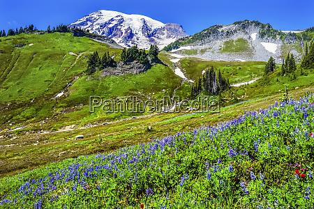 blue lupine indian paintbrush wildflowers mount