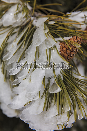 iced over pine cones in yellowstone