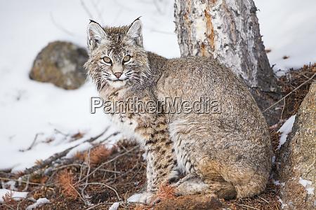 wyoming yellowstone national park bobcat sitting