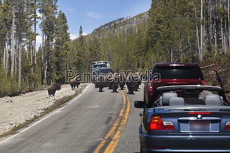 usa wyoming yellowstone national park bisons
