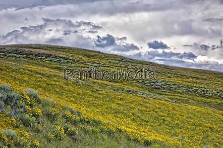 usa wyoming yellowstone national park arrowleaf