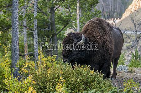 bison bison bison near mammoth hot