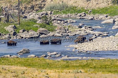 usa wyoming yellowstone national park buffalo