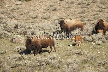 yellowstone national park wyoming usa female