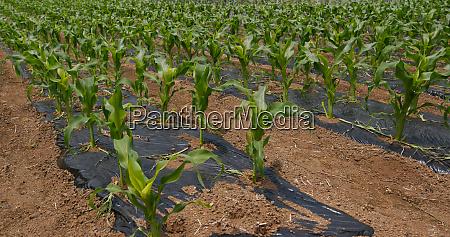 corn, plant, field, close, up - 27352753