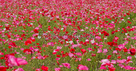 pink, poppy, flower, field, garden - 27352747