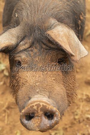nahaufnahme portraet schlammige freilandschwein