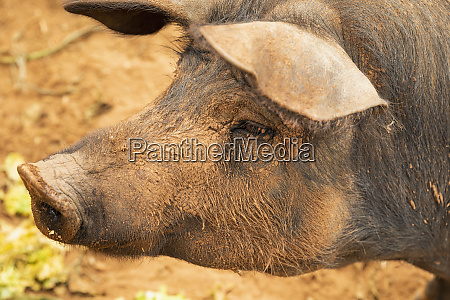 nahaufnahme profil schlammige freilandschwein