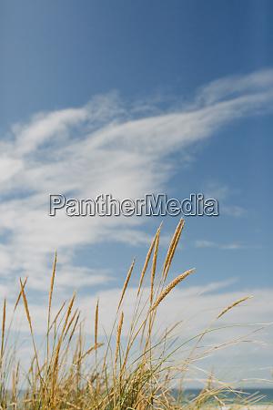 goldenes strandgras unter sonnigem idyllischem blauen