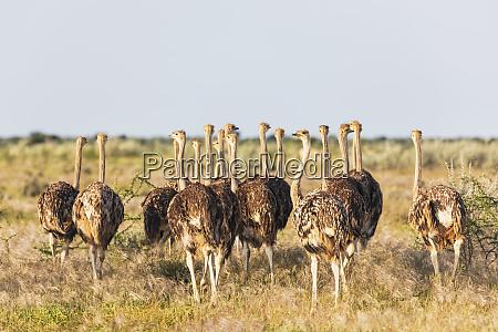 namibia etosha nationalpark afrikanische strausse struthio