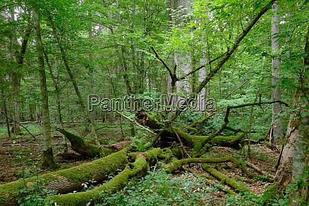 gebrochener alter eschenbaum und alte englische