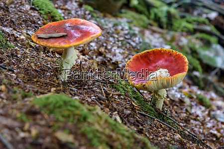 two red toadstools in a forest