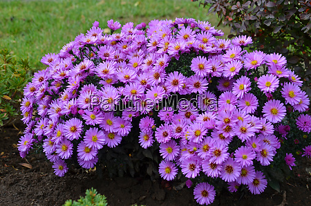 blooming asters in the garden