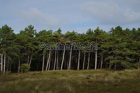 kiefernwaldrand aus der ferne