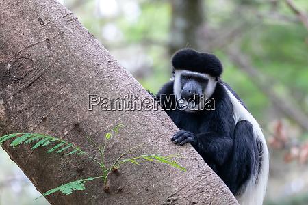affe colobus guereza AEthiopien afrika tierwelt